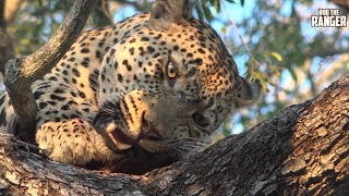 Warthog Provides A Leopard With Meals For A Few Days thumbnail