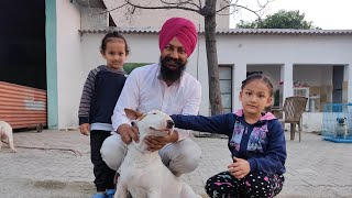 Bull Terrier Dog Kennel   Direct Import Dogs In Punjab   Dog Breeding India