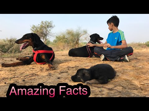Doberman Dog Amazing facts, Diet, why thieves scared of it, Training slow steps, Play time in Jungle