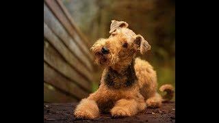Эрдельтерьер (Airedale Terrier) - порода собак