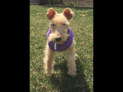 KAYLEE THE LAKELAND TERRIER GETS HER BOUNCE BACK