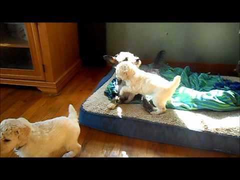 4 Week Old Standard Poodle Pups