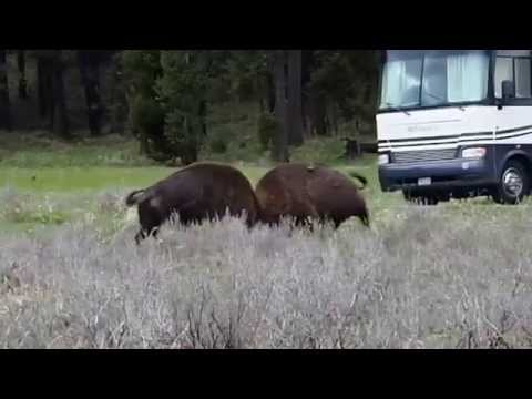 Yellowstone National Park Bridge Bay Campground Bison Brawl