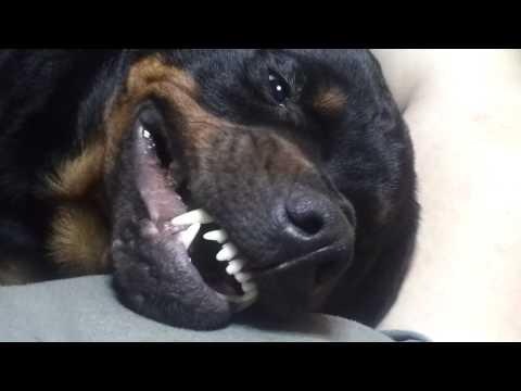 Rottweiler pedindo um carinho