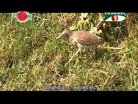 Nature and Life   Episode 138 (Herons and Egrets of Bangladesh)