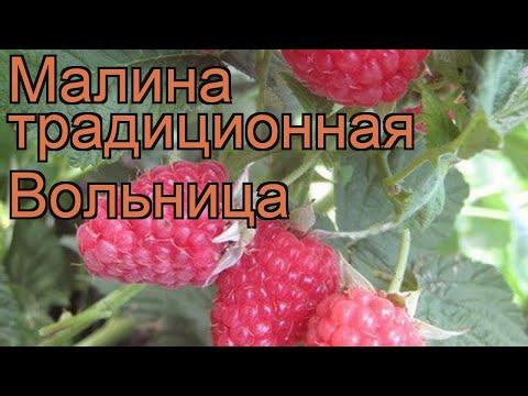 Малина традиционная Вольница (rubus volnitca) 🌿 Вольница обзор: как сажать, саженцы малины Вольница | традиционная | вольница | малина | обзор | volnitca | rubus | м