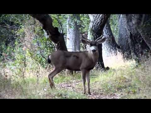 Deer in Big Sur