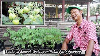 Perawatan Lengkap Budidaya Tomat di Pot / Polybag