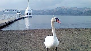 山中湖にて。スワン型遊覧船の停泊する岸辺に、なんと本物の白鳥を発見...