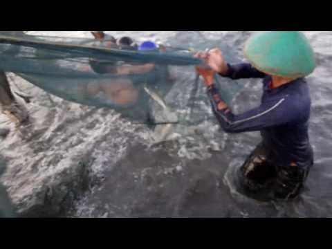 Suasana panen ikan bandeng sampai loncat loncat