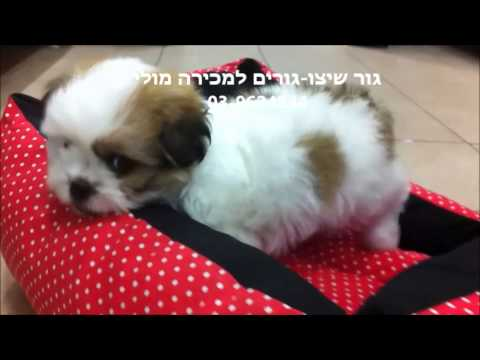 מסודר גור שיצו למכירה -כלבים קטנים |מולי חיות מחמד - YouTube FY-61