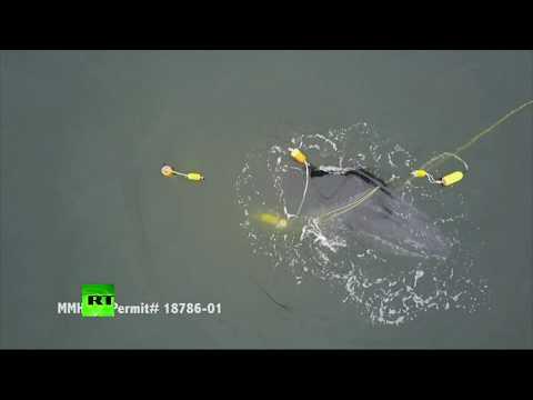 RAW: Entangled whale struggles to free itself off California coast