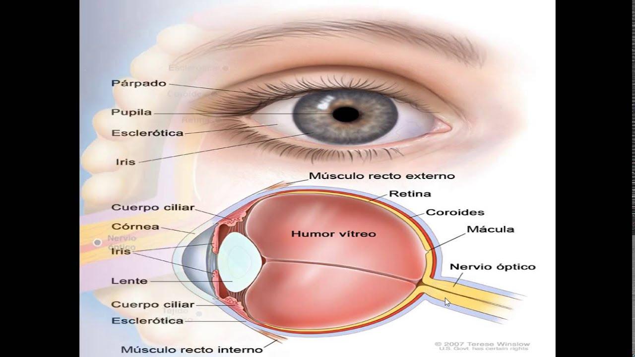 Estructura y Función del ojo humano. - YouTube