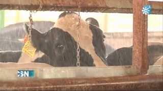 Microclima para las vacas en una granja de Jaén