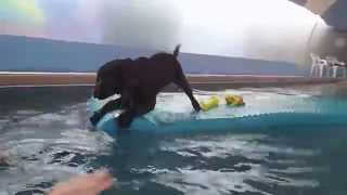 4 Month Old Chocolate Labrador Retriever Puppy Chloe Jumps Off Of Pool Float & Into Swimming Pool