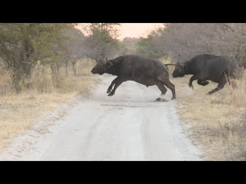 African Buffalo Hunt. Namibia Caprivi Hunting at it's best #2