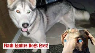 RARE: White Doberman Visits Dog Park, Belgian Malinois Protects Puppies!