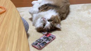我慢できずに娘のソックスをパリパリする猫【 #Shorts 】
