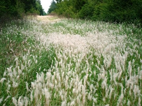 Managing Troublesome Invasive Grasses