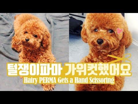 털뚠뚠 강아지 파마가 가위컷을 했어요 Hairy Dog PERMA Gets a Hand Scissoring