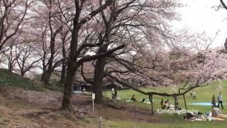 根岸森林公園桜20100411.mp4