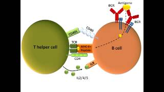 B Cell Activation and Class Switching (Best Explanation)