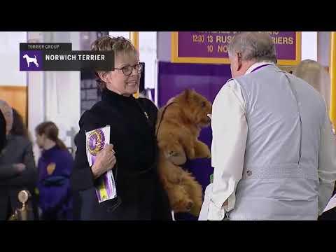 Norwich Terrier | Breed Judging 2019