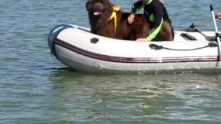 Newfoundland Dog Rescue Training- Maci