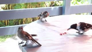Pied Butcherbird triplets ノドグロモズガラスの三つ子たち