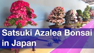 Satsuki Azalea Bonsai Exhibition at Ueno Park, Tokyo [iPhone 4S/HD]