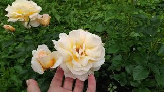 Розы в Подмосковье. Более 50 сортов роз в ролике... Названия внешний вид мои впечатления