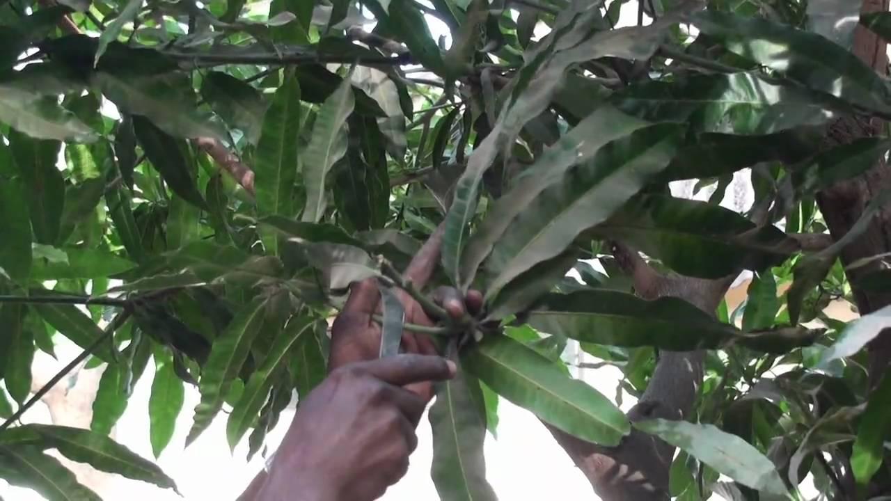 Agfo Peace Corps Senegal Mango Grafting 1 Of 4 Youtube