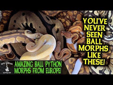 AMAZING BALL PYTHON MORPHS FROM EUROPE! (Dean Van Ommeren, Dean Reptiles)