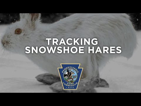 Tracking Pennsylvania Snowshoe Hares
