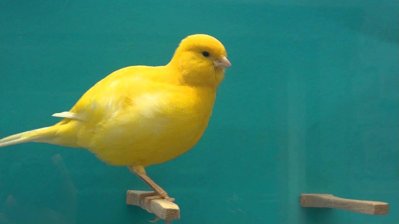 Mengenal Burung Kenari Border, Si Kenari Bulat