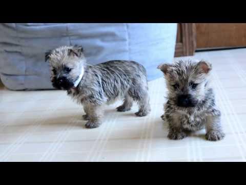 Wayne Weaver's Cairn Terrier Pups