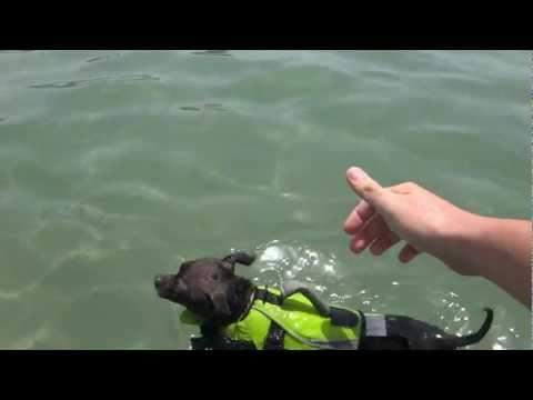 Chihuahua nadando en la playa