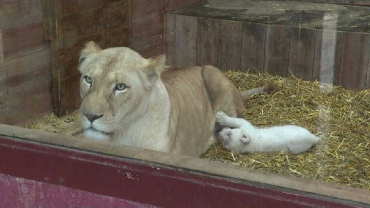 Viva i cuccioli di leone bianco allo zoo di Amnéville in Francia