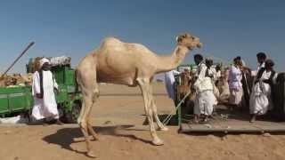 Shalatheen targ wielbłądów załadunek