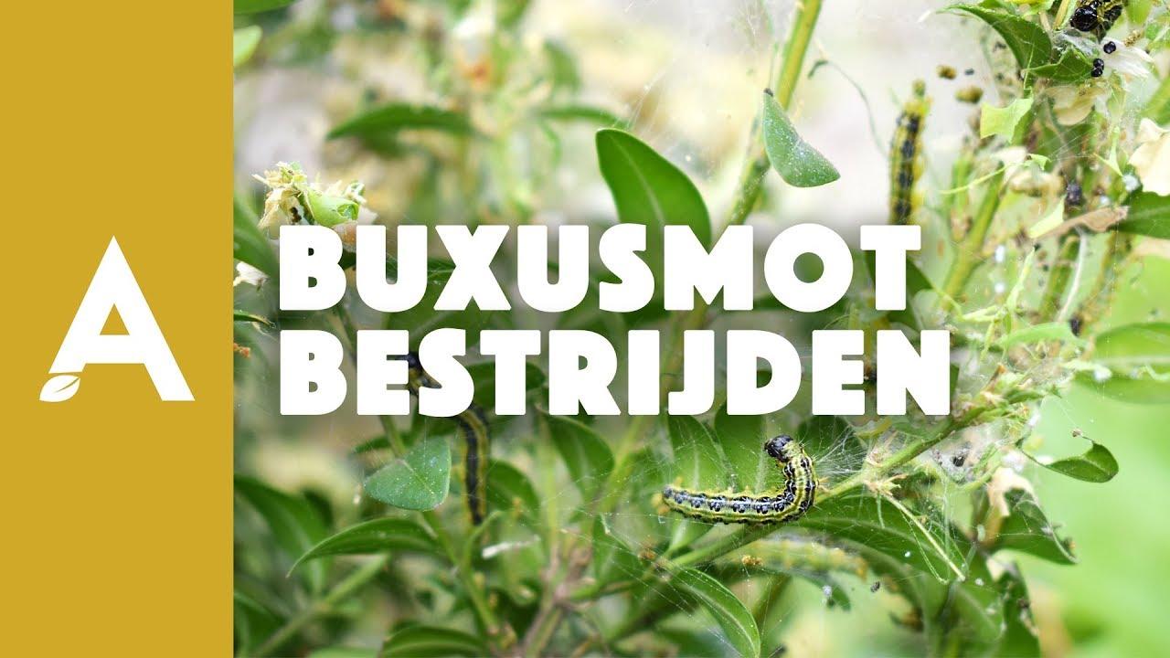 Buxusmot bestrijden - Een groener thuis! #25 - YouTube | 1280 x 720 jpeg 121kB