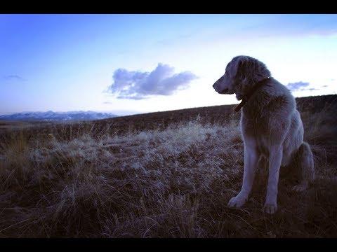 Загадочная порода собак Белая Голова — Акбаш