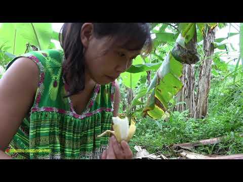 Primitive life in banana garden - Meet large banana bunch for food