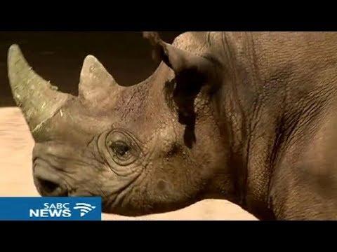 Black Rhino return to West Africa