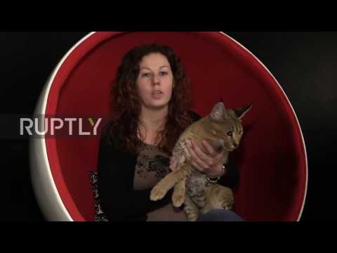 Russia: World's rarest cat breed worth €22,000 presented in St Petersburg