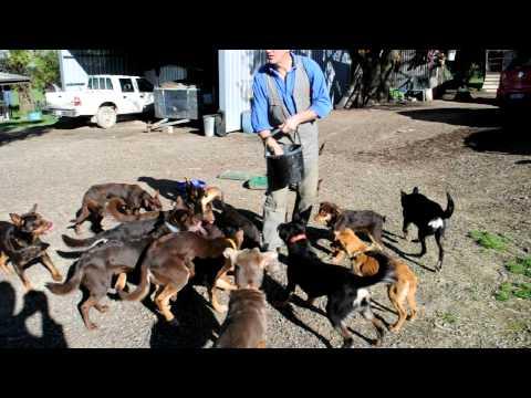 Beloka Kelpies Working Dog Education : Feeding Frenzy