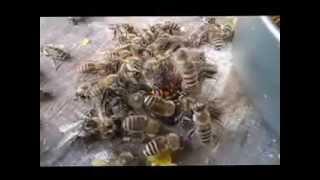 2015.9.16朝9時、信州佐久ノラファームのニホンミツバチが、群れでスズ...
