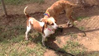 Beagle Lab Mix Playing