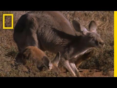 Working Kangaroo Mom