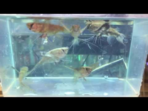 African Butterfly Fish For Sale!