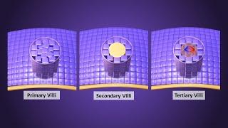 Chorionic Villi Development In Third Week - Primary, Secondary & Tertiary Villi